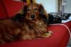 DSC_0033 (jessie_with_the_camera) Tags: dog cute cutie pets animals amateur nikon sofa mydog