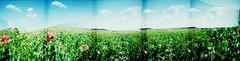 LC-Wide Panorama (rueckenwind) Tags: panorama analog lcwide dm100 crossed summer mohn