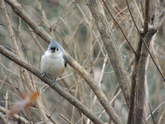 2016 - December (PeaSoup Gallery) Tags: backyard birds feeders indiana winter tufted titmouse