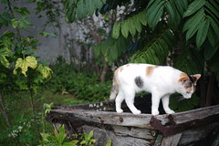 Leica Tri-Elmar @ 50 mm. and f/4 (tartoyo) Tags: leica trielmar mate cat cats