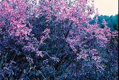Nov 2014 - Contax RTS II Zeiss 50/1.4 - Lomo Purple@200 ISO (Ondia!) Tags: catalonia catalunya purple lomopurple iso200 contax rtsii zeiss planart 5014 montseny barcelona manual mf film