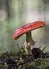 _B120206 (HelmiGloor) Tags: amanitamuscaria fliegenpilz trioplan meyergörlitz28100mmtrioplan mushroom