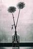 flower** (NINA KOB (on & off)) Tags: dahlia monochrome foveon sigma dp3merrill fineart bottle flower indoor