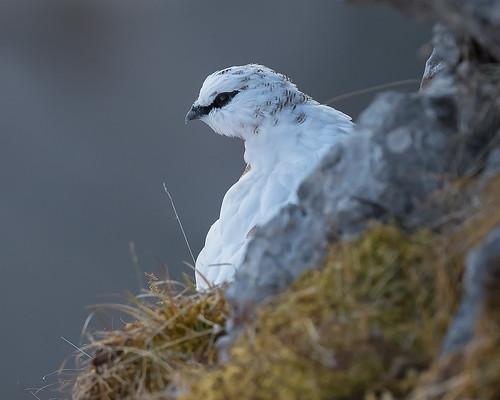 Alpenschneehuhn (Lagopus muta) 16015