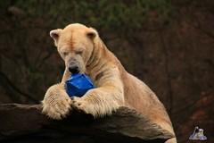Tierpark Berlin 26.12.2017 064 (Fruehlingsstern) Tags: eisbär polarbear wolodja rothund nashorn stachelschwein tierparkberlin canoneos750 tamron16300