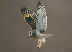 Short-eared Owl Flying (Thomas Muir) Tags: tommuir asioflammeus flying hunting woodcounty ohio bowlinggreen raptor nikon 600mm d800 nature bird