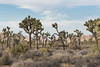 Joshua trees (Yucca brevifolia) growing in Lost Horse Valley (Joshua Tree National Park) Tags: joshuatree nationalpark yuccabrevifolia mojave desert california