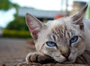 Contemplative Cat (Pedro F.Haupenthal) Tags: nikon l830 brasil latinamerica sun outdoors coolpix animal mutt streetphotography cat davinopolis centrooeste blueeyes eyes contemplative 2016