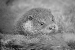 BWC Otter Pup 16/02/17 (2) (Zena Saunders) Tags: bwc britishwildlifecentre february2017 otter pup otterpup baby blackwhite