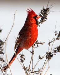Redbird   ( Cardinal ) (Gary P Kurns Photography) Tags: birds events places nikon closeup oklahoma nikond500 redbird specanimal