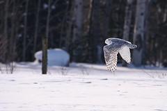 Snowy Owl in the Sun (McGill's Nature in Motion) Tags: snowyowl owl raptor predator bird nature wildlife winter michigan