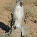Vervet Monkey (Chlorocebus pygerythrus) male