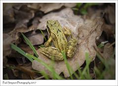 Frog (Paul Simpson Photography) Tags: frog amphibian nature naturalworld animal leaf imagesof imageof photosof photoof paulsimpsonphotography sonya77 grass february2017