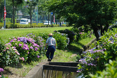 20150620-DS7_4091.jpg (d3_plus) Tags: street sky plant flower nature japan walking nikon scenery bokeh outdoor fine daily bloom  streetphoto hydrangea  tamron    dailyphoto    fujisawa thesedays  endo  fineday      tamron28300mm    tamronaf28300mmf3563  a061   hydrangeafestival d700 tamronaf28300mmf3563xrdildasphericalif  nikond700  tamronaf28300mmf3563xrdildasphericalifmacro tamronaf28300mmf3563xrdild  nikonfxshowcase a061n