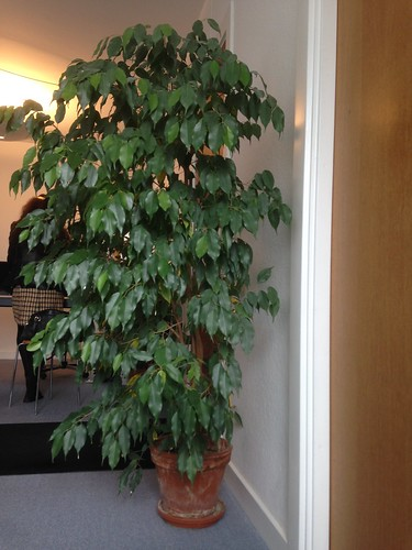 152/365 Waiting room ficus
