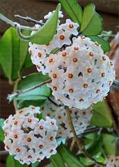 Hoya (Joya in some references) (sh10453) Tags: usa macro closeup michigan panasonic oakpark hoya joya lf1