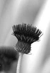 Red to black (Nick Jacobsen (nickjoj)) Tags: red white black flower monochrome effect infra