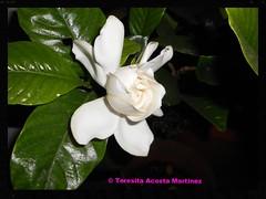Jazmín del cabo (Teresita Acosta Martinez) Tags: white plant flower blanco flor gardenia jazmin