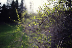 springy (cherrygurl) Tags: green spring bokeh buds canoneos6d may62015