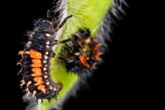 ladybird larva after eating its companion (markus.jacobs1899) Tags: macro closeup tiere nikon natur pflanzen blumen ladybird ladybug makro garten larva insekten kfer marienkfer larve  motiv  wildtiere  d700 nikkormicro60mm