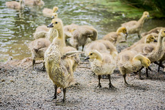 Follow the leader. Or not. (pnw_ames) Tags: nature birds animal outdoors wildlife goslings 70300g sonya77