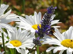 20150709e (@bodil) Tags: flowers france fleurs lavender bee daisy marguerite lavande