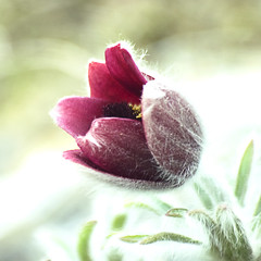 Pasqueflower (Johnnie Shene Photography(Thanks, 2Million+ Views)) Tags: flowers wild people plants plant flower colour macro floral closeup canon square lens photography eos rebel one living leaf spring high flora focus scenery kiss day view angle image outdoor no wildlife scenic tranquility scene 11 diagonal full single modified flowering 28 magnified length tamron 90mm viewpoint 90 f28 tranquil pasqueflower adjustment pasque freshness foreground t3i x5 organism pulsatilla 꽃 koreana 봄 fragility 600d 할미꽃