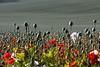 poppies_1044 (micheltennisfan) Tags: poppies poppiesfield