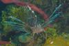 lionfishNov21-16 (divindk) Tags: caribbean honduras invasivespecies lionfish pteroisvolitans roatan underwater diverdoug fish marine ocean reef sea spines tropical underwaterphotography venomous