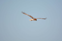 Spotted Harrier (James_Preece) Tags: spottedharrier accipitridae circusassimilis nikond7100 nikkor20005000mmf56vr