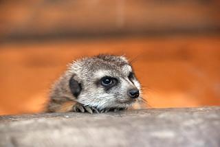 merkat (Suricata suricatta / Meerkat / Erdmännchen)