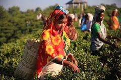 C1_2016-161374 (HamimCHOWDHURY  [Read my profile before you fol) Tags: teagardenportrait girlnature tealeaf workingwomen