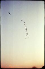 Lockruf des Südens (Ulla M.) Tags: agfasilettei vintage analog canoscan8800f expiredfilm kleinbild vögel zugvögel 35mm freihand umphotoart