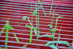 No control (marktmcn) Tags: green grasses shoots growth growing through grille red metal grid bars linear contrasts d80 nikkor 18135mm outside