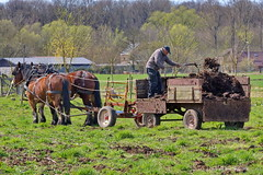 The old fashioned Way (DirkVandeVelde back) Tags: belgie belgium belgica belgique buiten europa europ europe boer farmer mest horses paard menure springtime lente bemesten sony