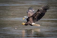 Eyes on the prize, Eagle Fishing (Vic Zigmont) Tags: eagels birds birdinflight eaglefishing