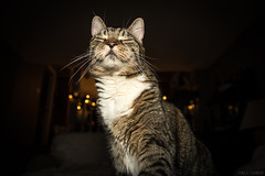 352 / 366 - Loyal Subjects (Pamela Saunders) Tags: cat feline pet flash portrait home kitty 366 366project