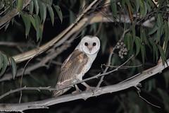 Eastern Barn Owl (Tyto javanica) (Heleioporus) Tags: eastern barn owl tyto javanica near ballina new south wales