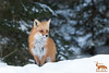 Red Fox - 2081 & new logo read below.... (NicoleW0000) Tags: red fox carnivore winter ontario wild wildlife photography