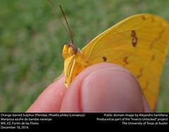 Orange-barred Sulphur or Mariposa azufre de bandas naranja (Pieridae, Phoebis philea (Linnaeus)) (insectsunlocked) Tags: lepidoptera pieridae coliadinae phoebis phoebisphilea pphilea orangebarredsulphur mariposaazufredebandasnaranja