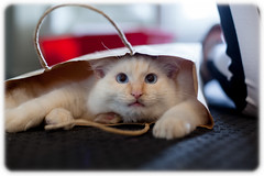 Cat in a Bag (Craig Jewell Photography) Tags: bag cat cute flamepoint fluffy furry kitten pussy ragdoll redpoint white australia filename20131215101520mg8077cr2 iso400 f25 ¹⁄₃₀sec 0ev canoneos5dmarkii ef50mmf14usm 50 2013