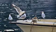 I wish you and your loved ones a happy and healthy New Year ! (miriam ulivi) Tags: miriamulivi nikond7200 italia liguria portofinobarca boat gabbiani seagulls mare sea bokeh nature