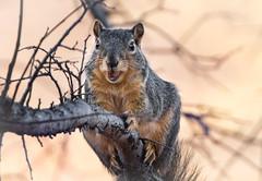Chester (brian.pipe) Tags: nikon d500 80 400 afs fox squirrel dallas dfw texas tx urban nature