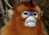 Golden Snub-nosed Monkey (Rhinopithecus roxellana) (cowyeow) Tags: china chinese asia asian shennongjia hubei shennongjiaforestrydistrict wildlife nature monkey monkeys endemic rare cute golden snubnosed rhinopithecusroxellana goldensnubnosedmonkey rhinopithecus roxellana snubnosedmonkey goldenmonkey forest face