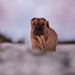 A Walk in the Clouds (Y. Robbins) Tags: sharpei dog walking clouds snow winter