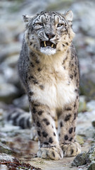 Walking with grimace (Tambako the Jaguar) Tags: rocks stones walking openmouth yawning portrait face grimace funny snowleopard male uncia fluffy big wild cat zürich zoo switzerland nikon d5