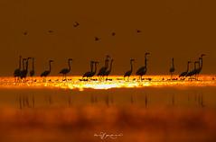 Greater Flamingos in Sunset (Wasif Yaqeen) Tags: greaterflamingos flamingo flamingosatsunset sunset uchalilake nature wildlife birds birdsofpakistan pakistanwildlife wildlifeofpakistan animals pakistannature wasifyaqeen wasif animalplanet nationalgeographic outdoor birdsinnaturalhabitat birdshabitat pakistan wasifyaqeenphotography