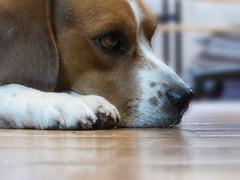 No estoy (Letua) Tags: mascota perro striker beagle amor ternura compañero amigo pet dog love friendship buddy friend retrato portrait dof