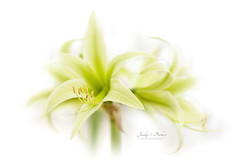 Hippeastrum Spider Group 'Evergreen' (Jacky Parker Floral Art) Tags: hippeastrum ameryllis lily plant spidergroup evergreen whitebackground selectivefocus focusonforeground floralart beautyinnature freshness closeup macro indoors nopeople fragility green cream flowerphotography macrophotography nikon uk highkey softfocus softness
