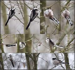 KUSA-5223 (Weinstöckle) Tags: schwanzmeise meise vogel enz winter